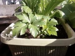庭の野菜達